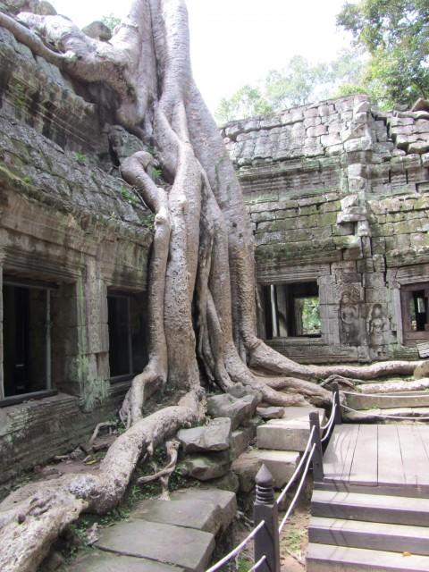 tree roots Angkor vat cambodia