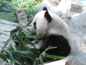 panda in Chiang mai thailand