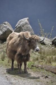 Bhutanese yak
