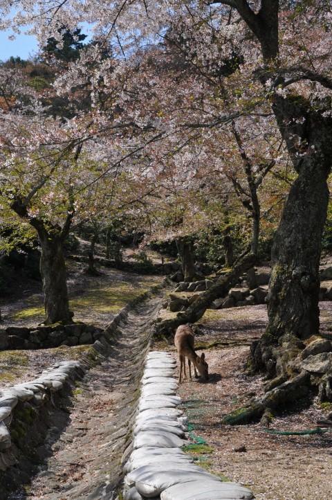 Deers and Cherry Blossom, Miyajima