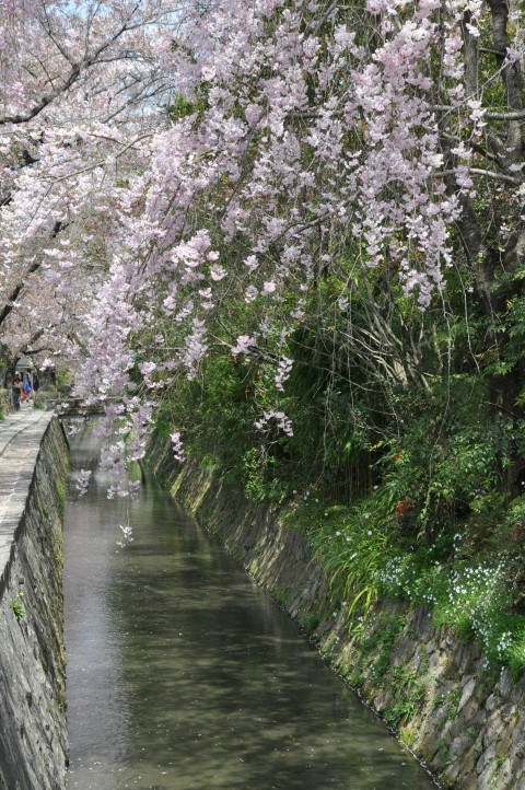 cherry blossoms in kyoto japan