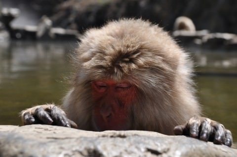 our snow monkey friend