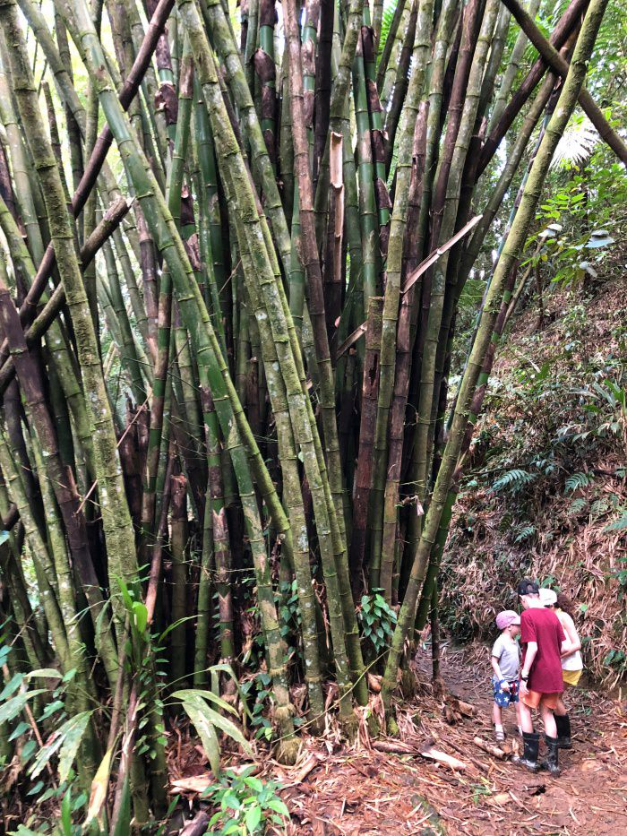 gigantic bambous in the national forest, Tobago