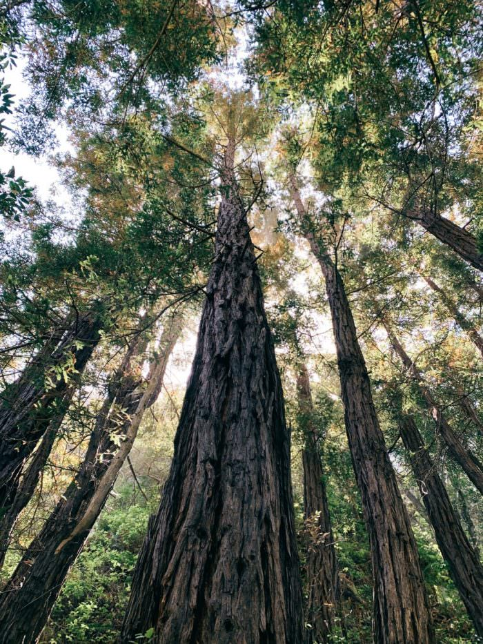 Big Sur, Trees
