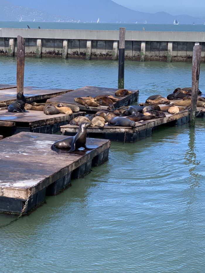seals, dock, california, water, ocean