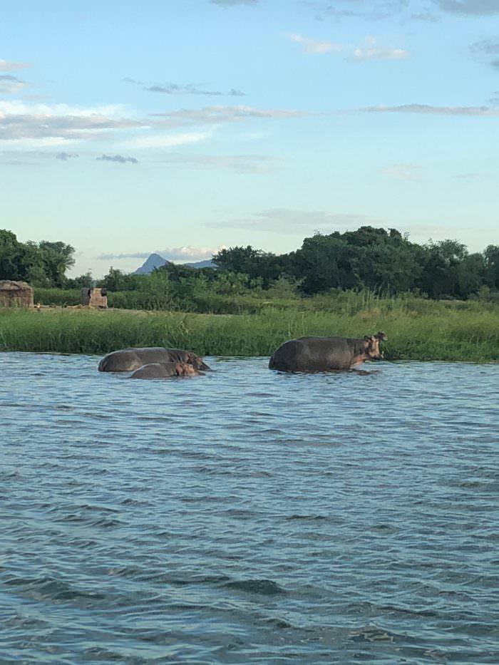 hippos, river, safari, Lake Malawi, Malawi, Africa